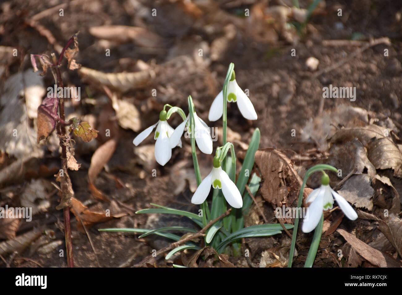 Blume, Blumen, Wald, Waldboden, Schneeglöckchen, Frühlingsblume, Frühblüher, Blüte, Stiel, Frühlingsgruß, Amaryllisgewächs, Blüte, Vorfrühling, wachse - Stock Image