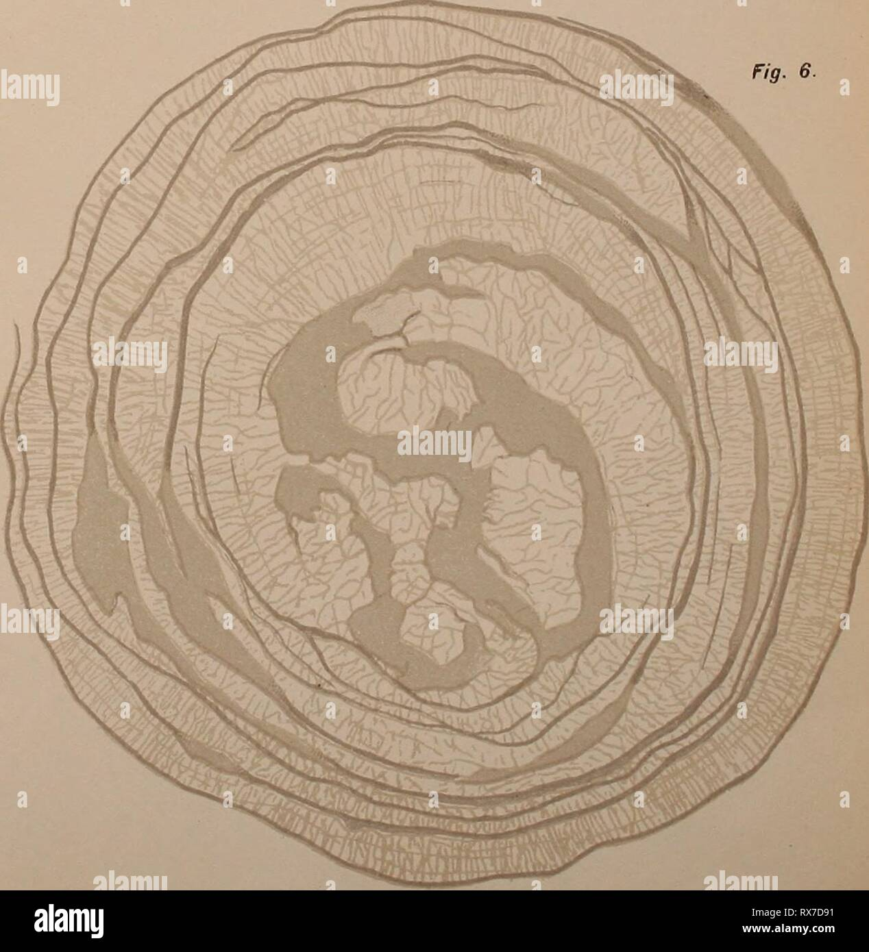 Eerste ontwikkelingsstadiën van Megalobatrachus maximus Eerste ontwikkelingsstadiÃ«n van Megalobatrachus maximus Schlegel eersteontwikkeli00buss Year: 1904  fi^- I, III, V, VI Mej. J.MÃteleekamp, del., fig- II en IV L. Â¥â de Bus3ï. del LHh. .1. H. 1»; Br; - Stock Image