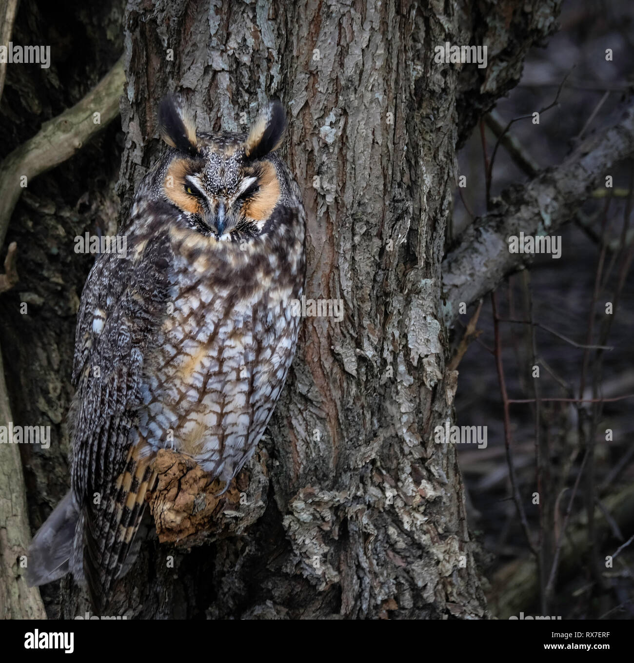 Long-eared Owls(Asio otus) are lanky owls that often seem to wear a surprised expression thanks to long ear tufts that typically point straight up lik - Stock Image