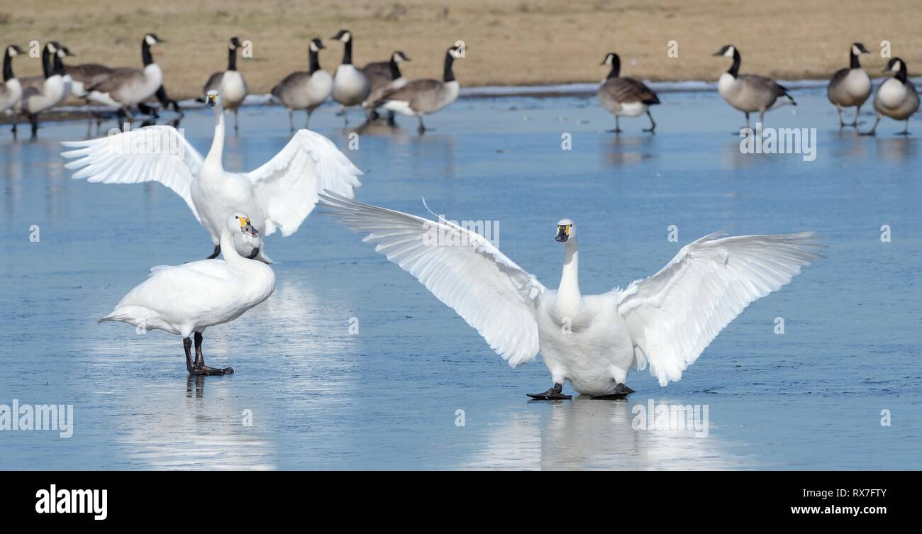 Two Bewick's swans (Cygnus columbiana bewickii) sliding on ice after landing on a frozen marshland pool near Canada geese (Branta canadensis), UK. - Stock Image