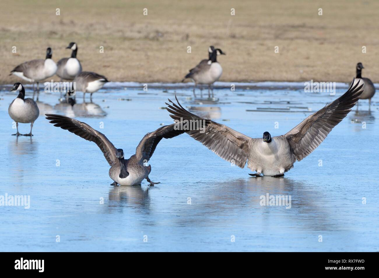 Two Canada geese (Branta canadensis) sliding on ice as they land on a frozen marshland pool with others in the background, Gloucestershire, UK. - Stock Image