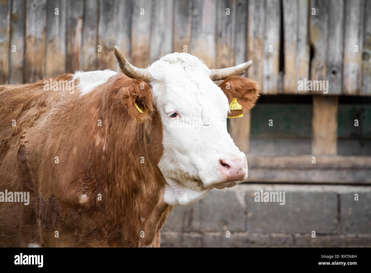 Free range cattle in suckler cow husbandry - Stock Image