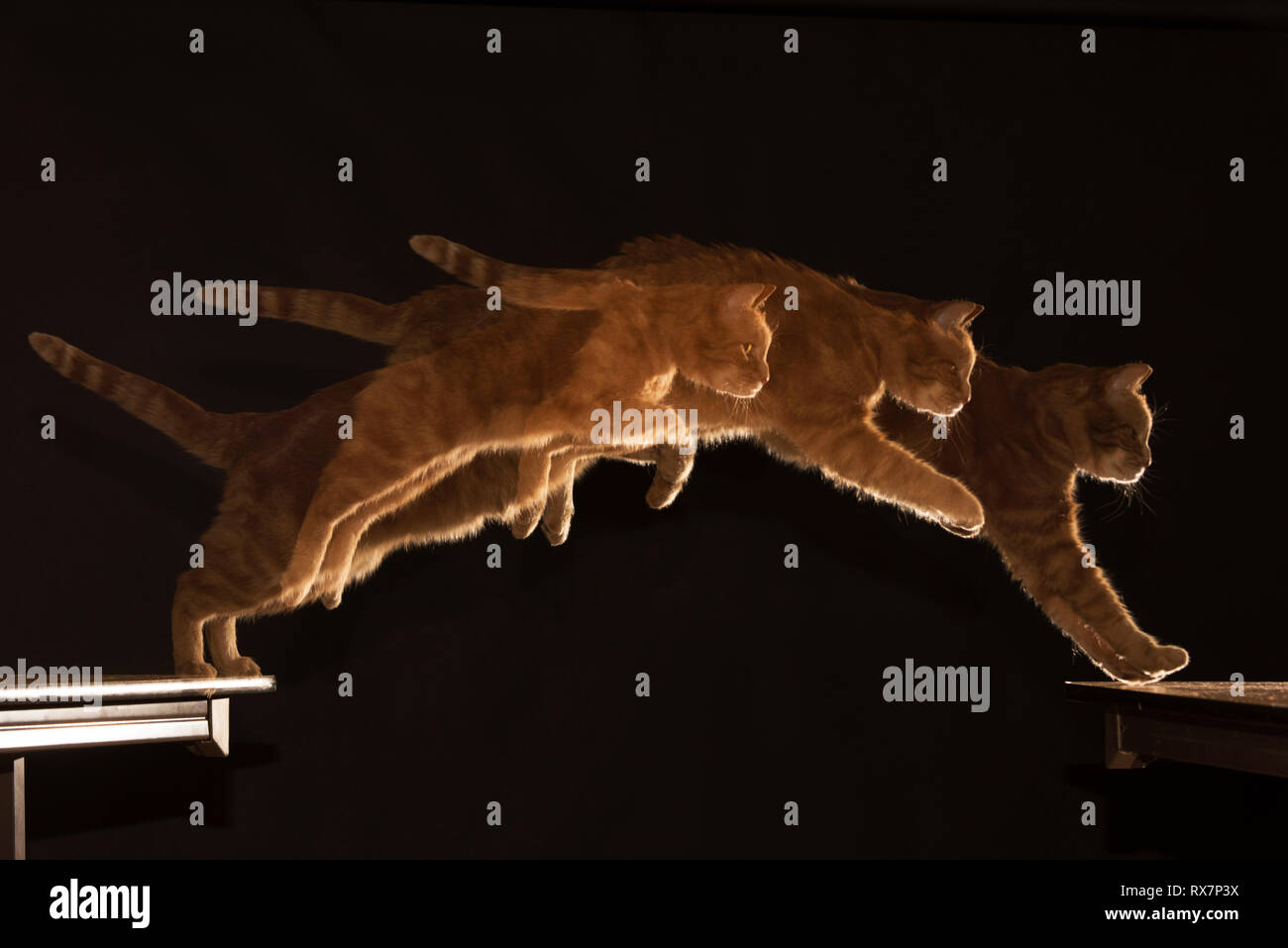 Cat Jumping Multiple Shots Ginger Cat (Ronnie), High Speed Flash, Studio, Kent UK - Stock Image