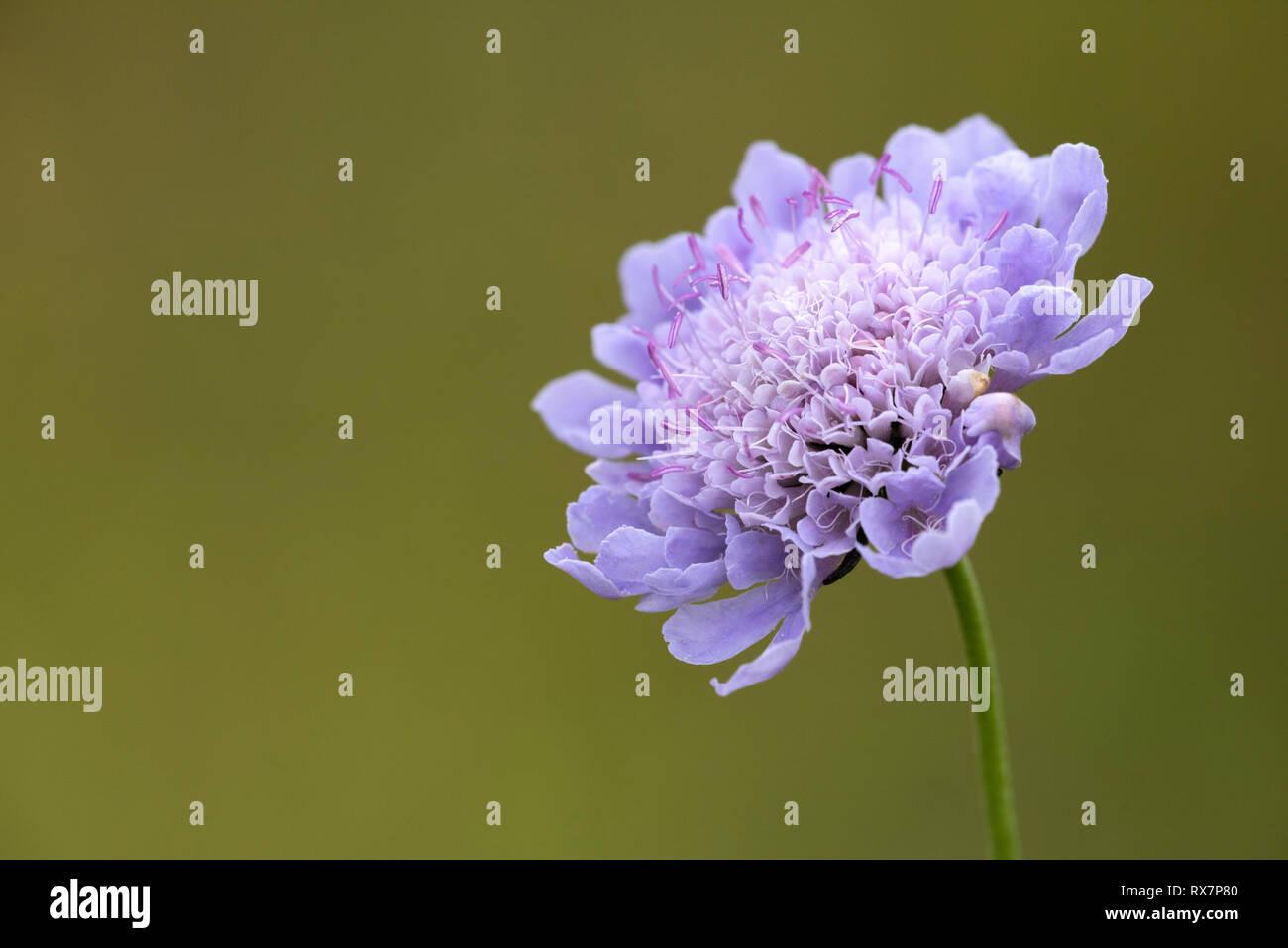 Devil's Bt Scabious Flower, Succisa pratensis,Temple Ewell Nature Reserve, Kent Wildlife Trust, UK - Stock Image