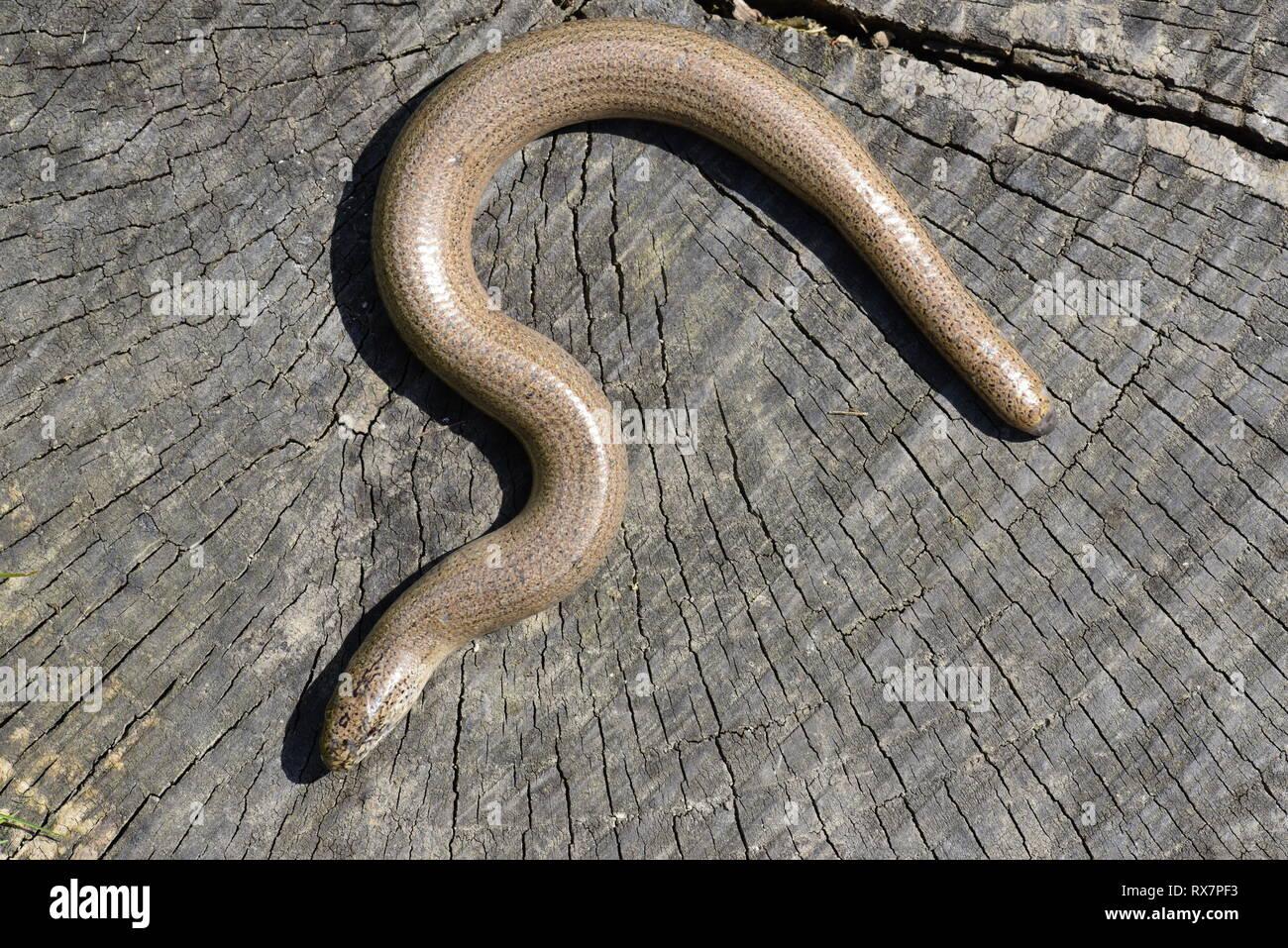 Slowworm, Anguis fragilis, basking in sunshine to get warm, Monkton Nature Reserve, Kent UK,legless lizard - Stock Image