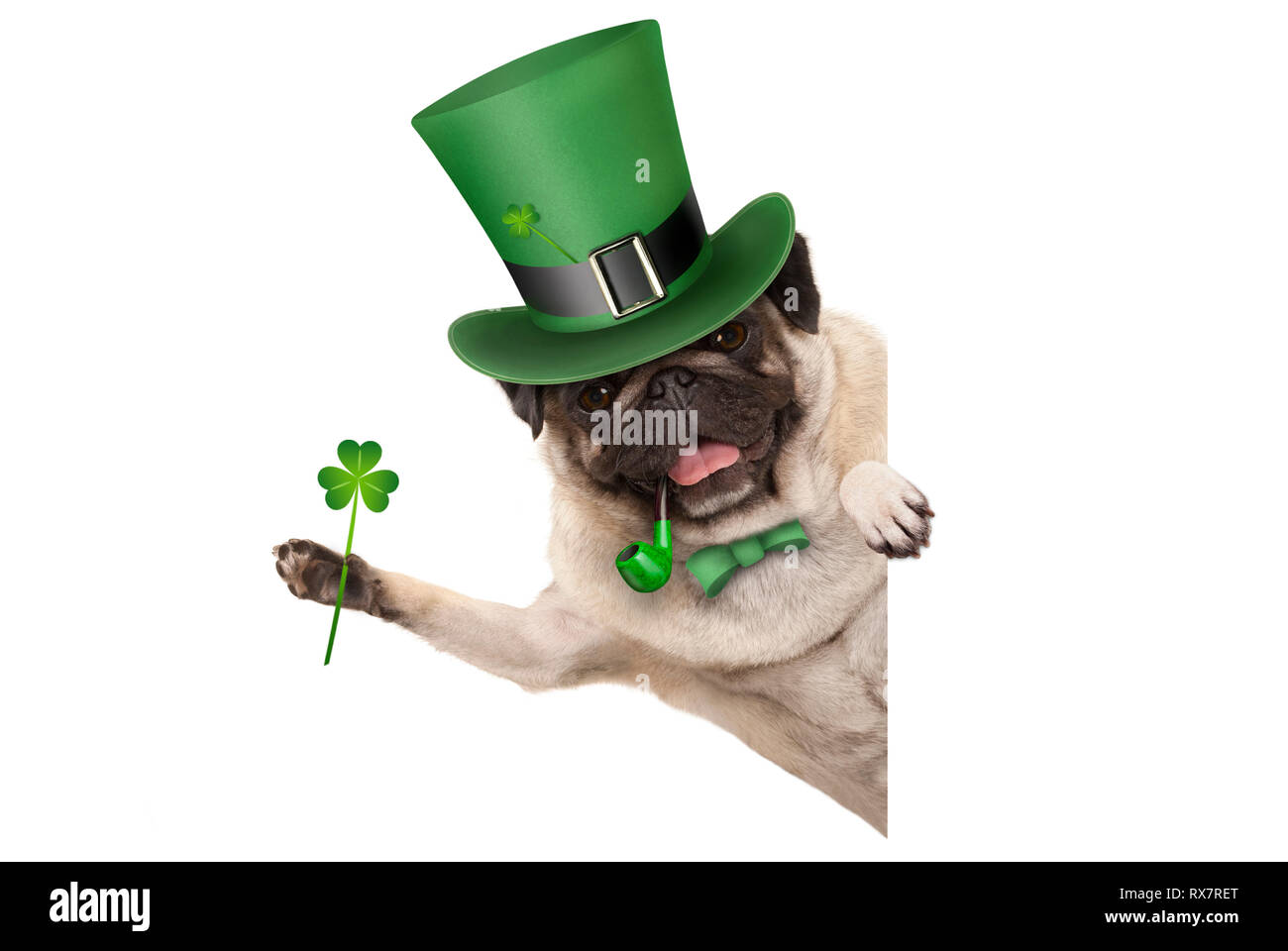 st patricks day pug puppy dog with green leprechaun hat and pipe, holding up shamrock clover, smiling sideways, isolated on white background Stock Photo