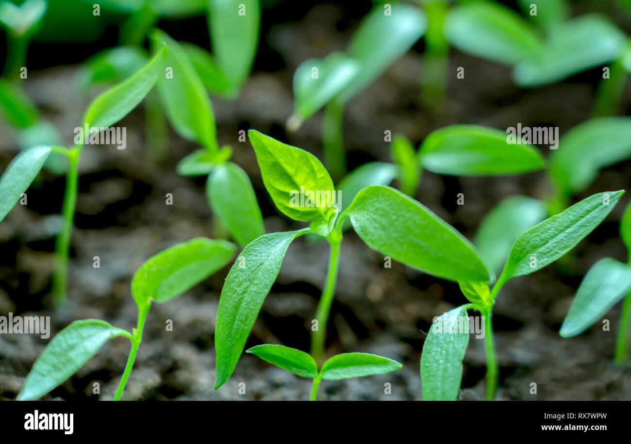 Gently green, young seedlings of sweet pepper - Stock Image