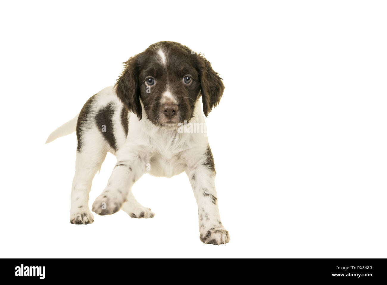 Cute Small Munsterlander Puppy standing on isolated on a white background paw up - Stock Image