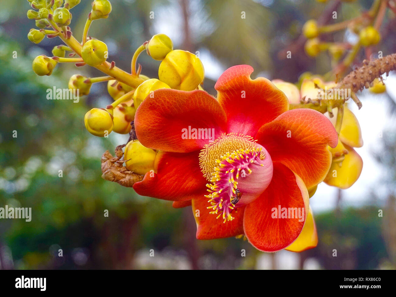 Blossom of a Cannonball tree (Couroupita guianensis Aubl.), Koh Samui, Thailand - Stock Image