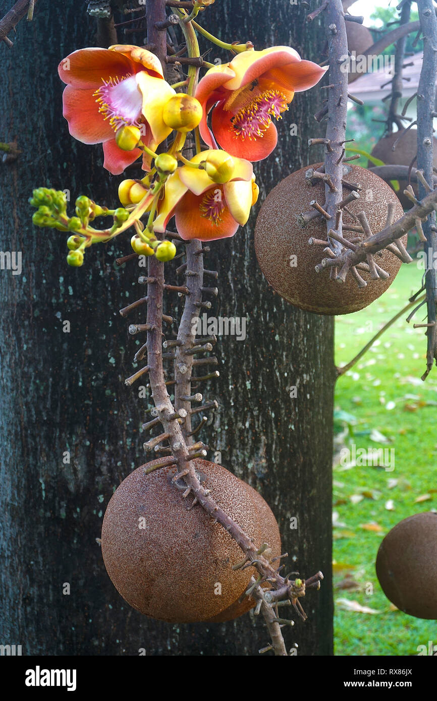 Cannonball tree (Couroupita guianensis Aubl.) bears fruits and blossoms, Koh Samui, Thailand - Stock Image