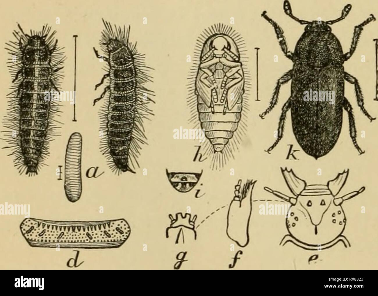 ... the farmer and the fruit grower, and for use as a text-book in agricultural schools and colleges; economicentomol00smit Year: 1906 The larder-beetle, ...