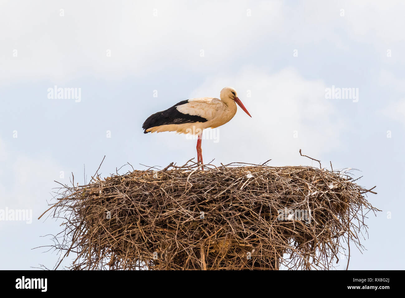 White stork in Silves, Portugal nest building at the end of winter - Stock Image