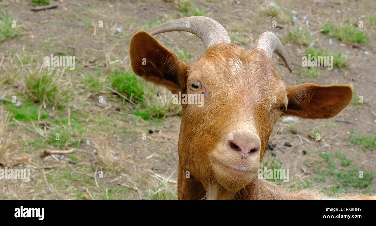 Closeup shot of a ginger billy goat's head. Cute goat looking straight at the camera. Stock Photo