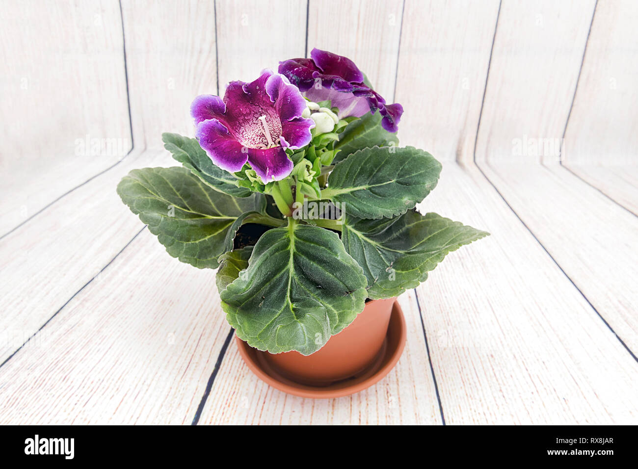 Gloxinia bought in a flower shop. Indoor flower - Stock Image
