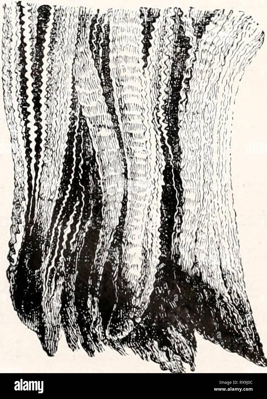 Einführung in die Vererbungswissenschaft; in Einführung in die Vererbungswissenschaft; in zweiundzwanzig Vorlesungen für Studierende, Aerzte, Züchter einfhrungindie1913gold Year: 1913  im ganzen, Fig. 165 im Skelett, verglichen mit dem normalen FuÃ, zeigt, so daà eins der grundlegenden systematischen Merkmale der ganzen Ordnung, die Paarhuf ig keit, wenn auch nicht aufgehoben (dazu müÃte eine Zehe aasfallen), so doch verschleiert ist. Eine Zeitlang wurden solche Einhufer- sauen lebhaft gezüchtet, als vor Ein- führung der Eisenbahnen groÃe Herden weit weggetrieben wurden und sich dabei di - Stock Image