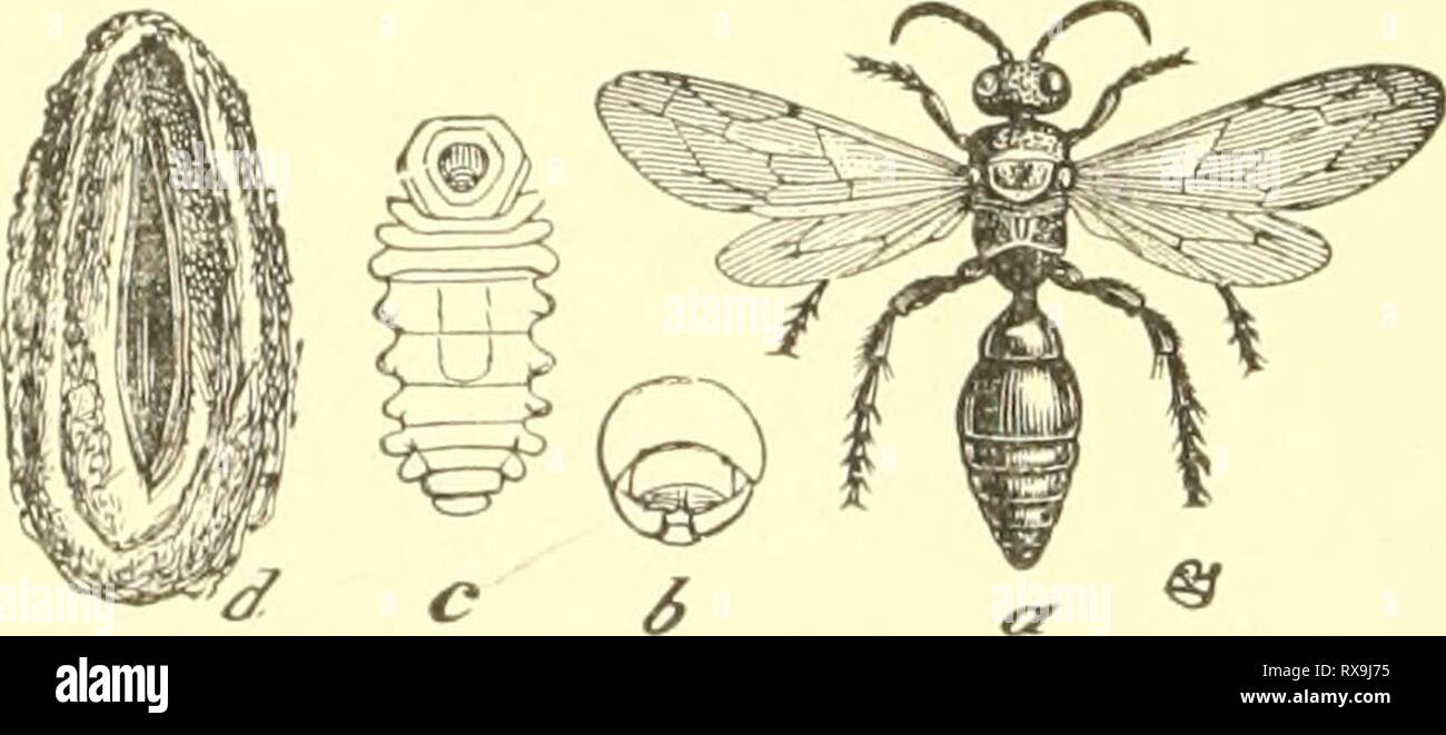 Economic entomology for the farmer Economic entomology for the farmer and the fruit grower, and for use as a text-book in agricultural schools and colleges; economicentomolo00smit Year: 1906  A velvet ant, Sphcer ophthalma occiden talis. Occasionally we find, running on sandy spots, an insect that looks like a large ant, very prettily colored and banded with bright scarlet and black, rusty red or mottled yellow. If one of these apparent ants be picked up, the result is usually a surprise in the form of an enor- mously long sting, for we really have a wing- less 'digger-wasp,' which from its ap - Stock Image