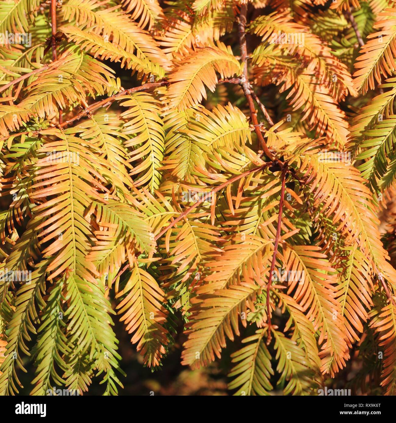 Autumnal branches of the Dawn Redwood, Metasequoia glyptostroboides Stock Photo