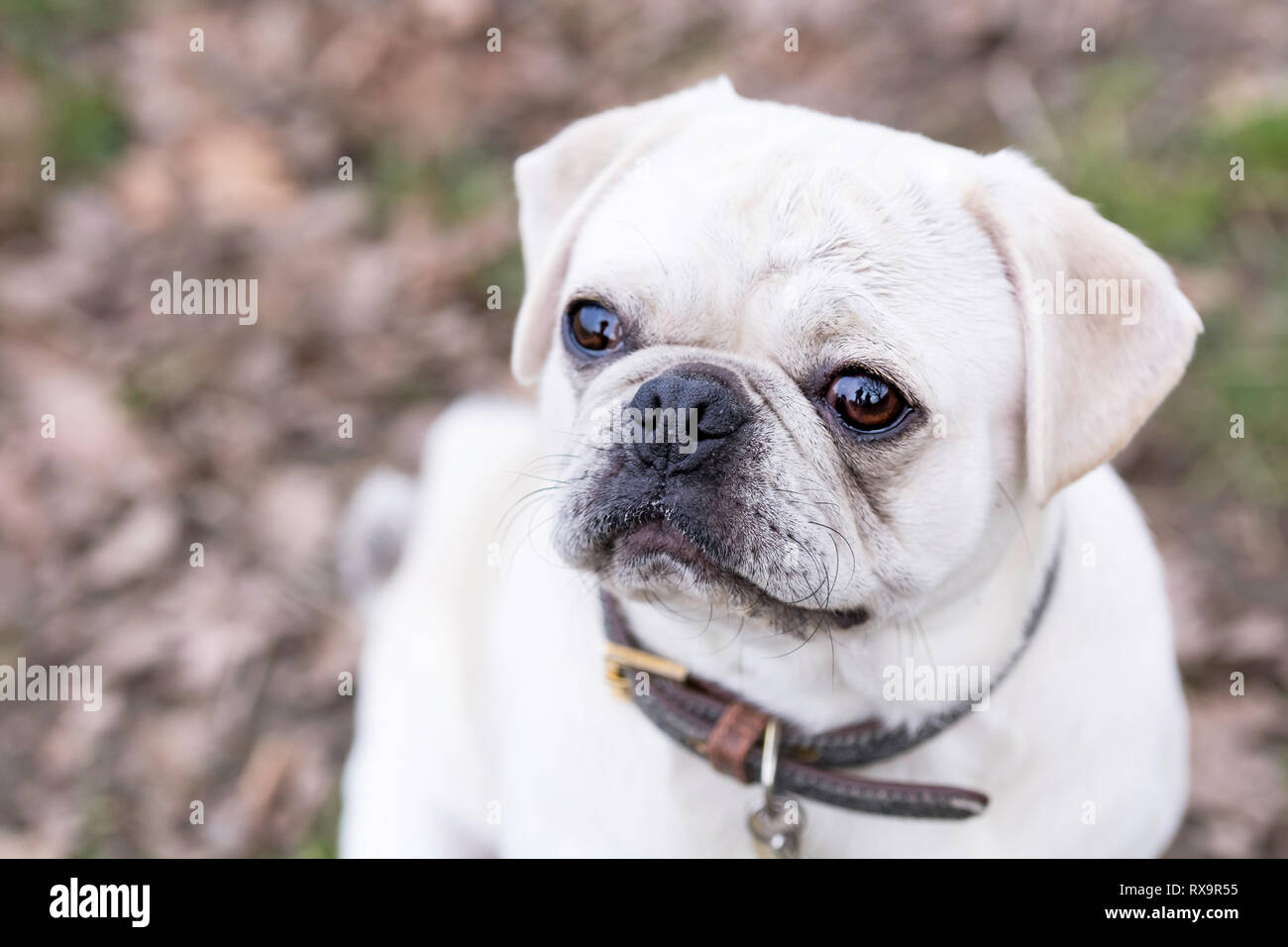 a cute pug dog looking up at camera - Stock Image