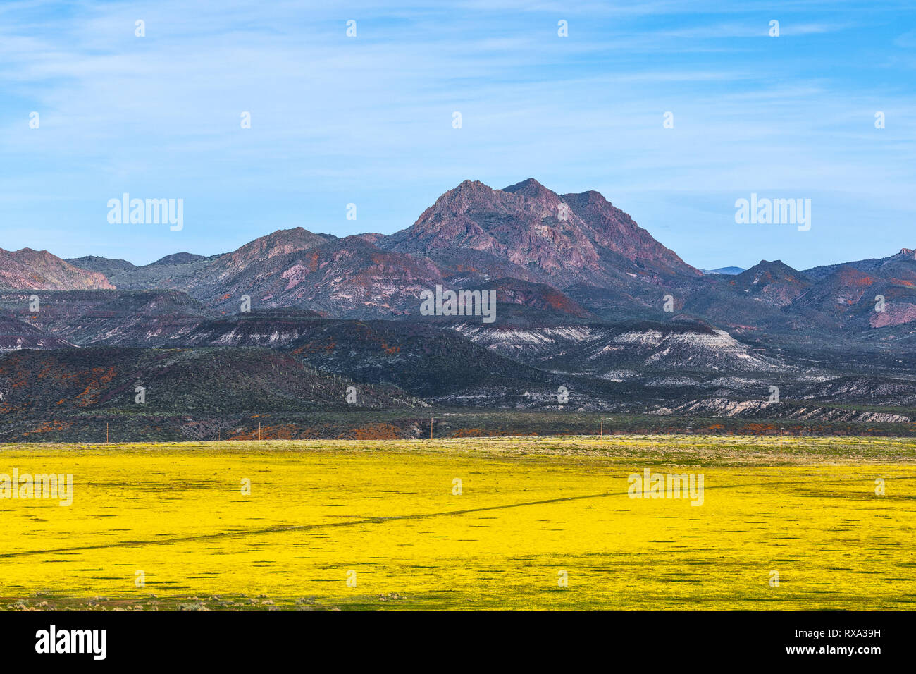 Spring wildflowers cover the desert floor on Peridot Mesa near San Carlos, Arizona, USA. - Stock Image