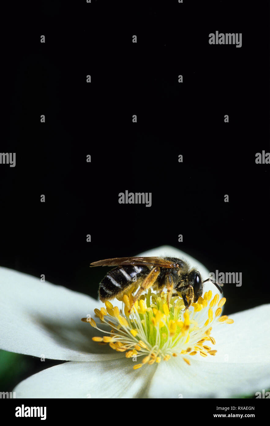 Halictid sweat bee on Canada anemone, Saskatchewan, Canada - Stock Image