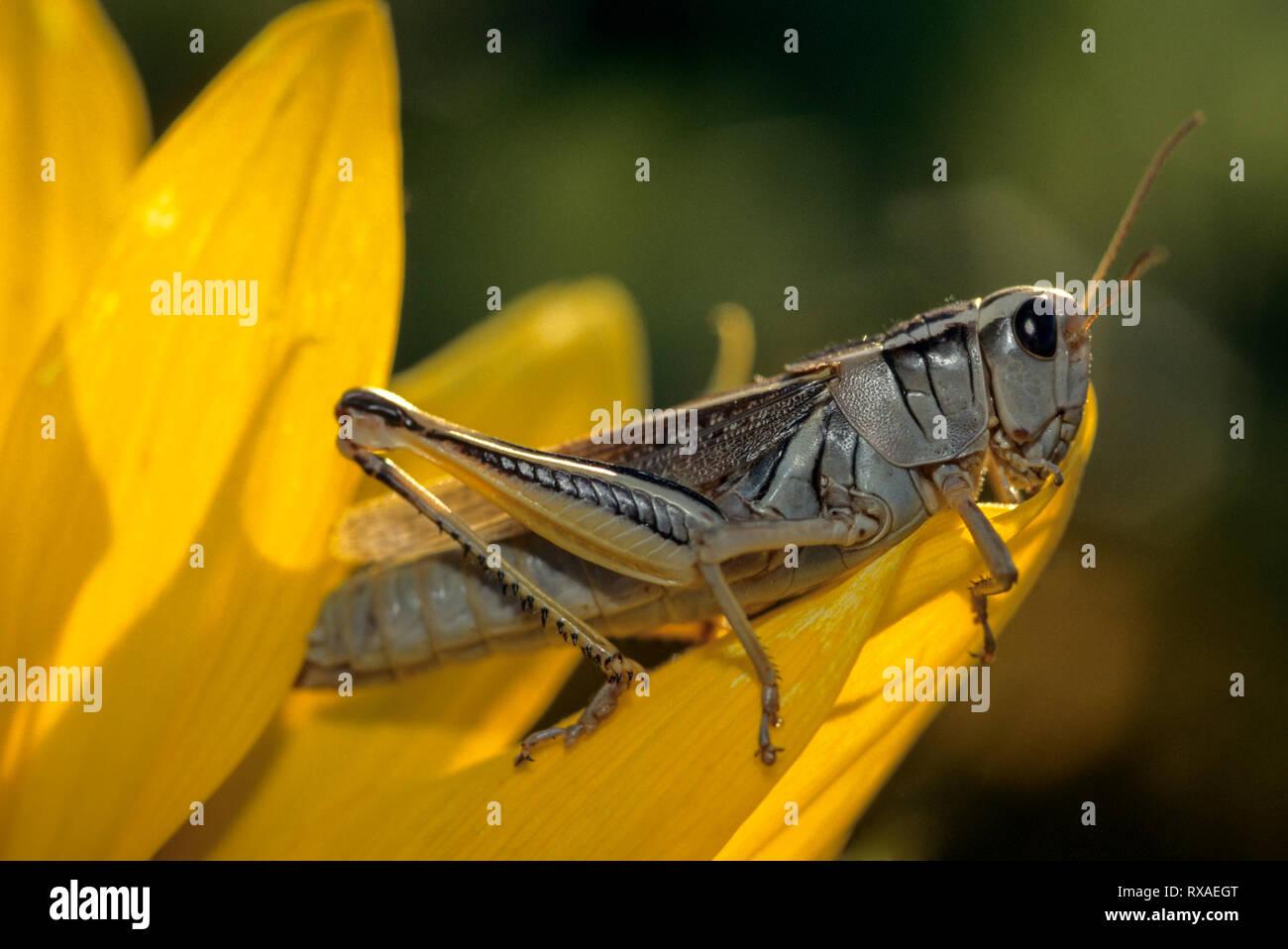 Grasshopper, Melanoplus sp., on oilseed sunflower blossom, Saskatchewan, Canada - Stock Image