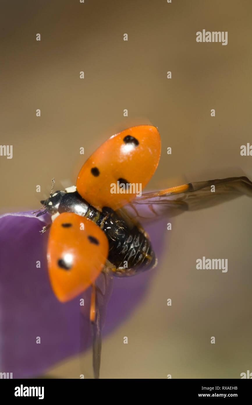 Ladybird Beetle, Coccinella semptempunctata, with wing covers lifted, Saskatchewan, Canada - Stock Image