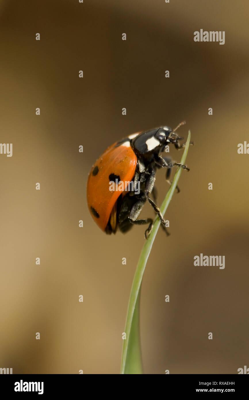 Ladybird Beetle, Coccinella semptempunctata, climbing leaf, Saskatchewan, Canada - Stock Image
