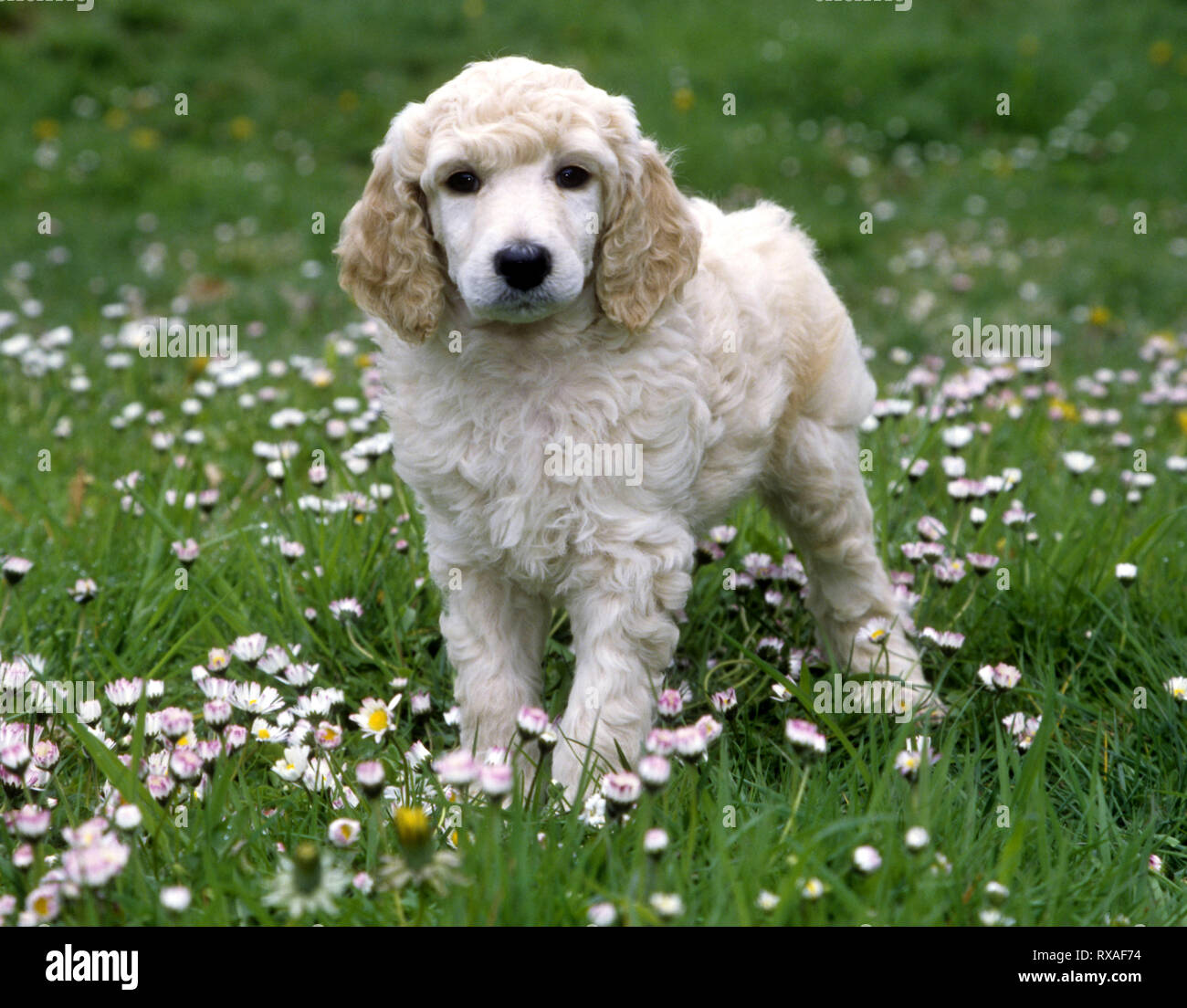 Standard Poodle Puppy Standing In Field Of Baby Daisies Stock Photo Alamy