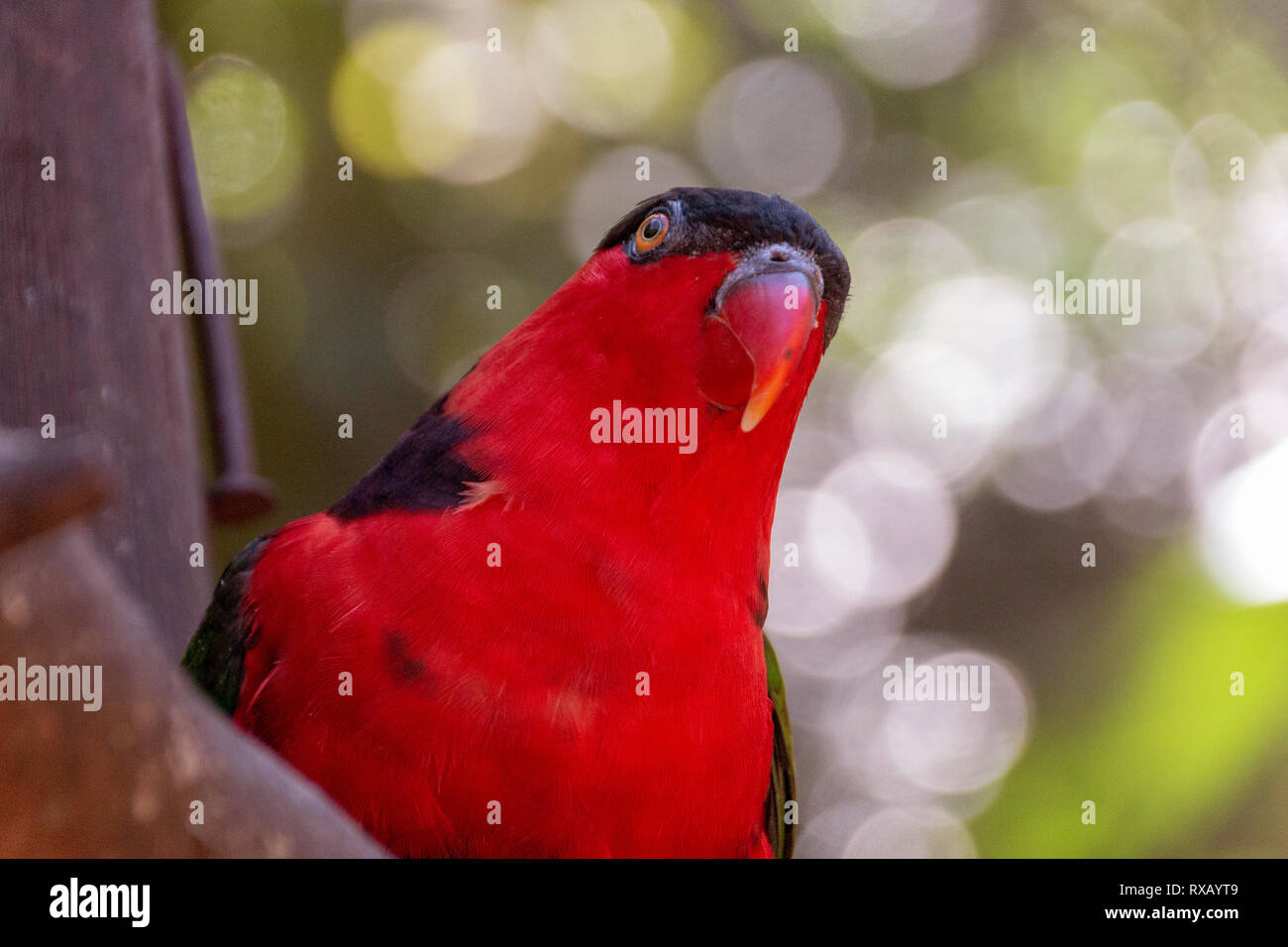A close up view of a red and black lorikeet on a wooden purch watching the sky - Stock Image