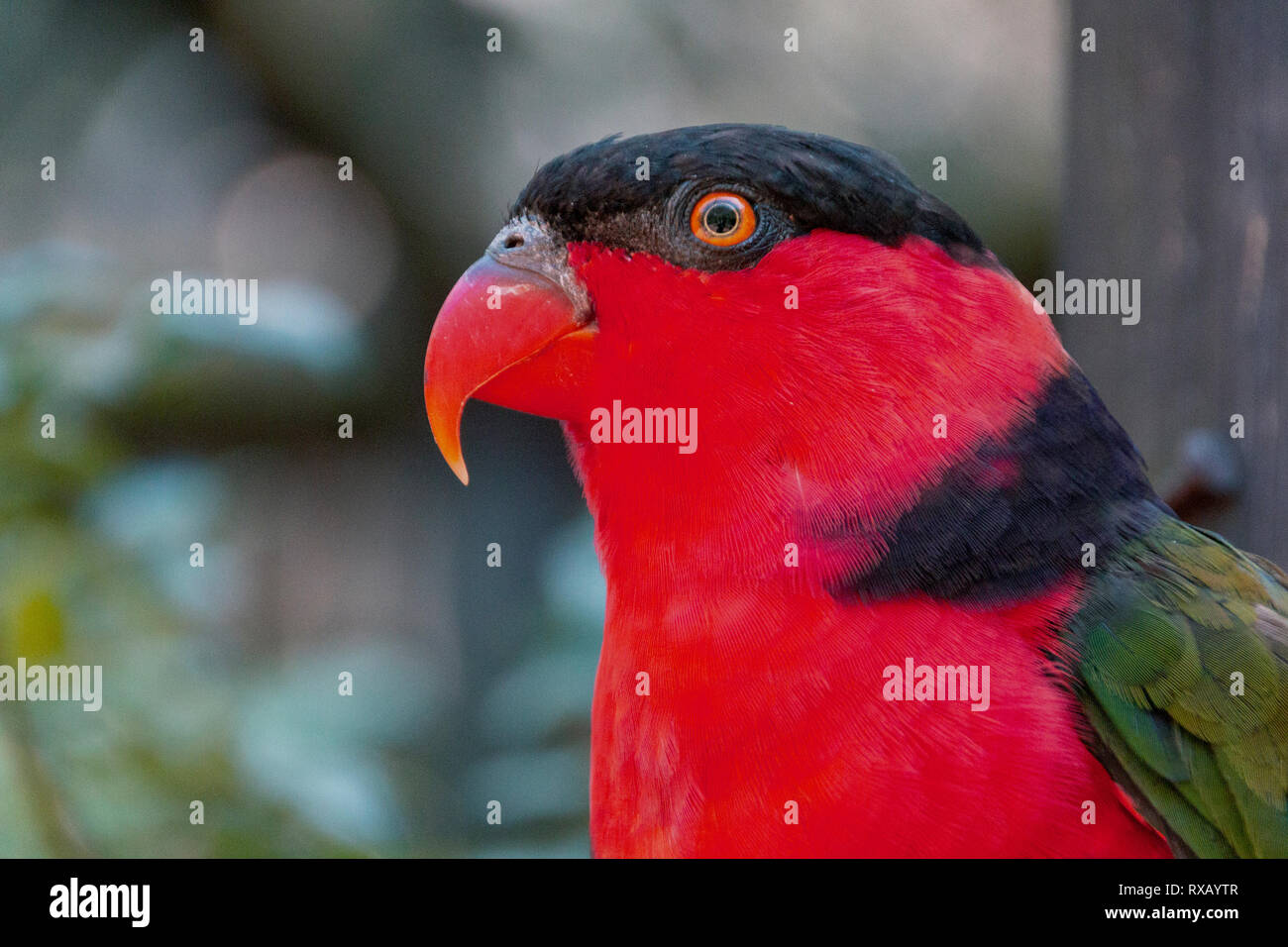 A close up side view of a red and black lorikeet on a wooden purch watching the sky - Stock Image