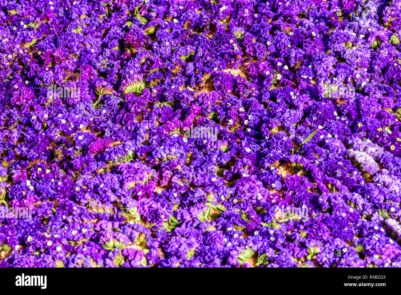 Closeup of statice flowers on Lent procession carpet in town with most famous Holy Week celebrations in Latin America - Stock Image