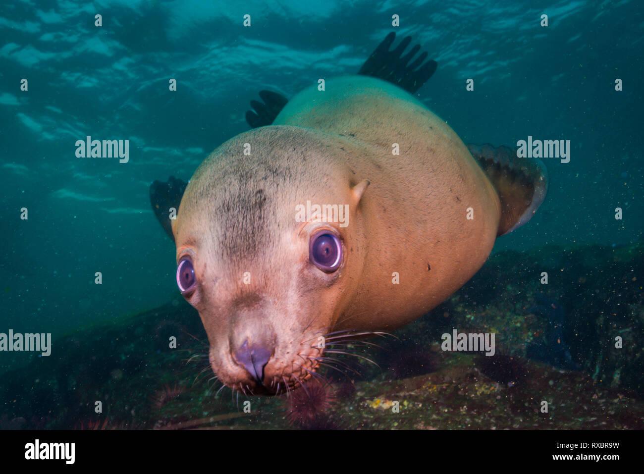 Steller sea lion face, Eumetopias jubatus, Christy Islet, Hornby Island, Striat of Georgia, British Columbia, Canada, near threatened species - Stock Image