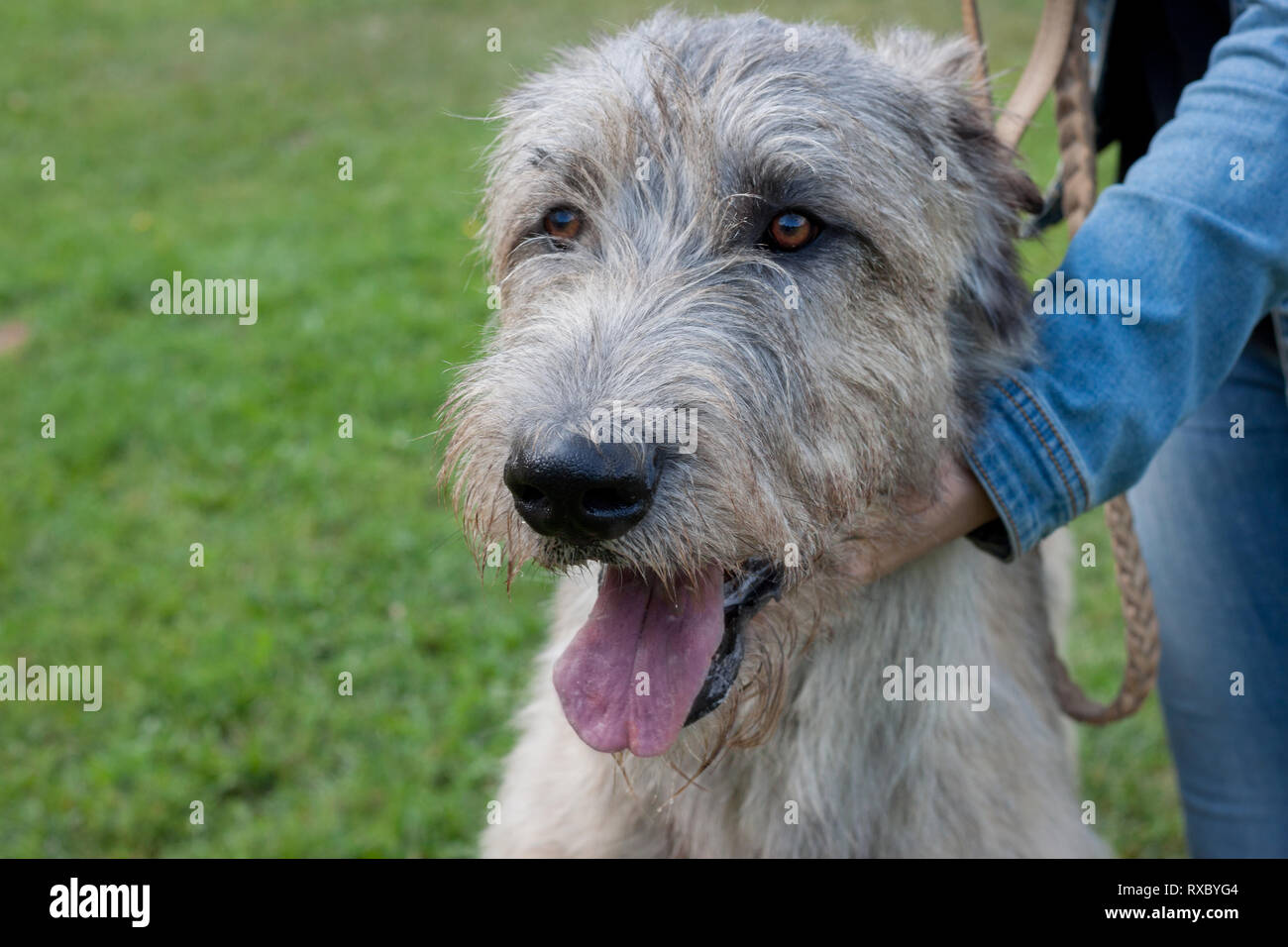 Large irish wolfhound with his owner. Close up. Pet animals. Purebred dog. Stock Photo