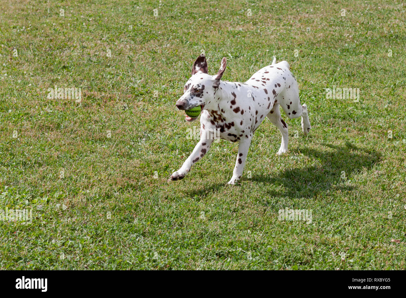 Cute dalmatian puppy is playing with small ball. Dog toys. Pet animals. Purebred dog. - Stock Image