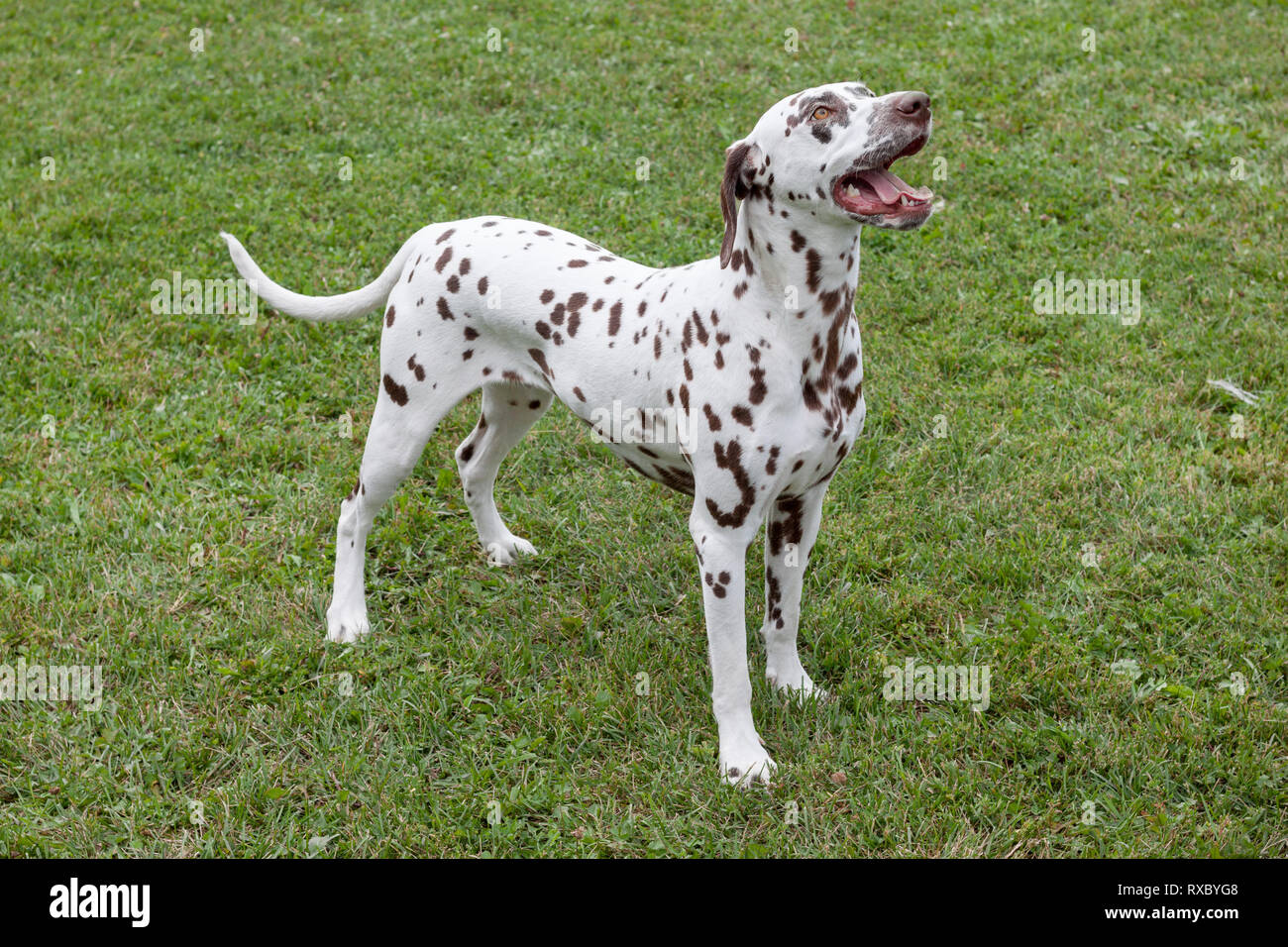 Cute dalmatian puppy is standing on a green meadow. Pet animals. Purebred dog. - Stock Image