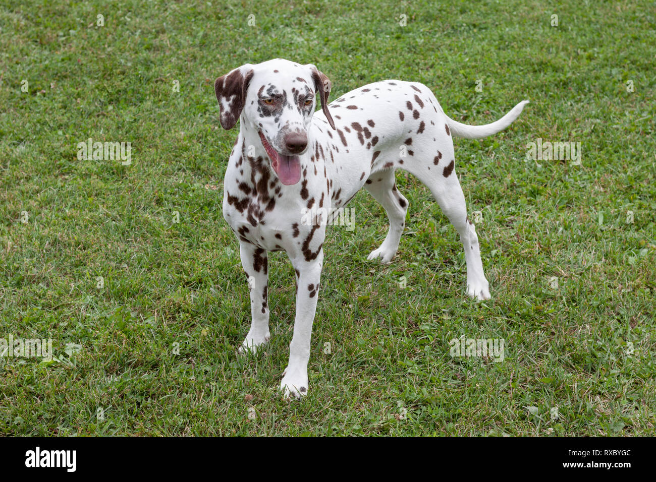 Cute dalmatian puppy is standing on a spring meadow. Pet animals. Purebred dog. - Stock Image