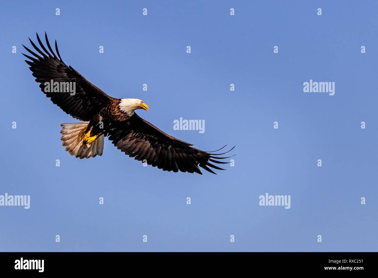 Bald eagle soaring on a beautiful spring day above the Broughton Archipelago, First Nations Territory, British Columbia, Canada. Stock Photo