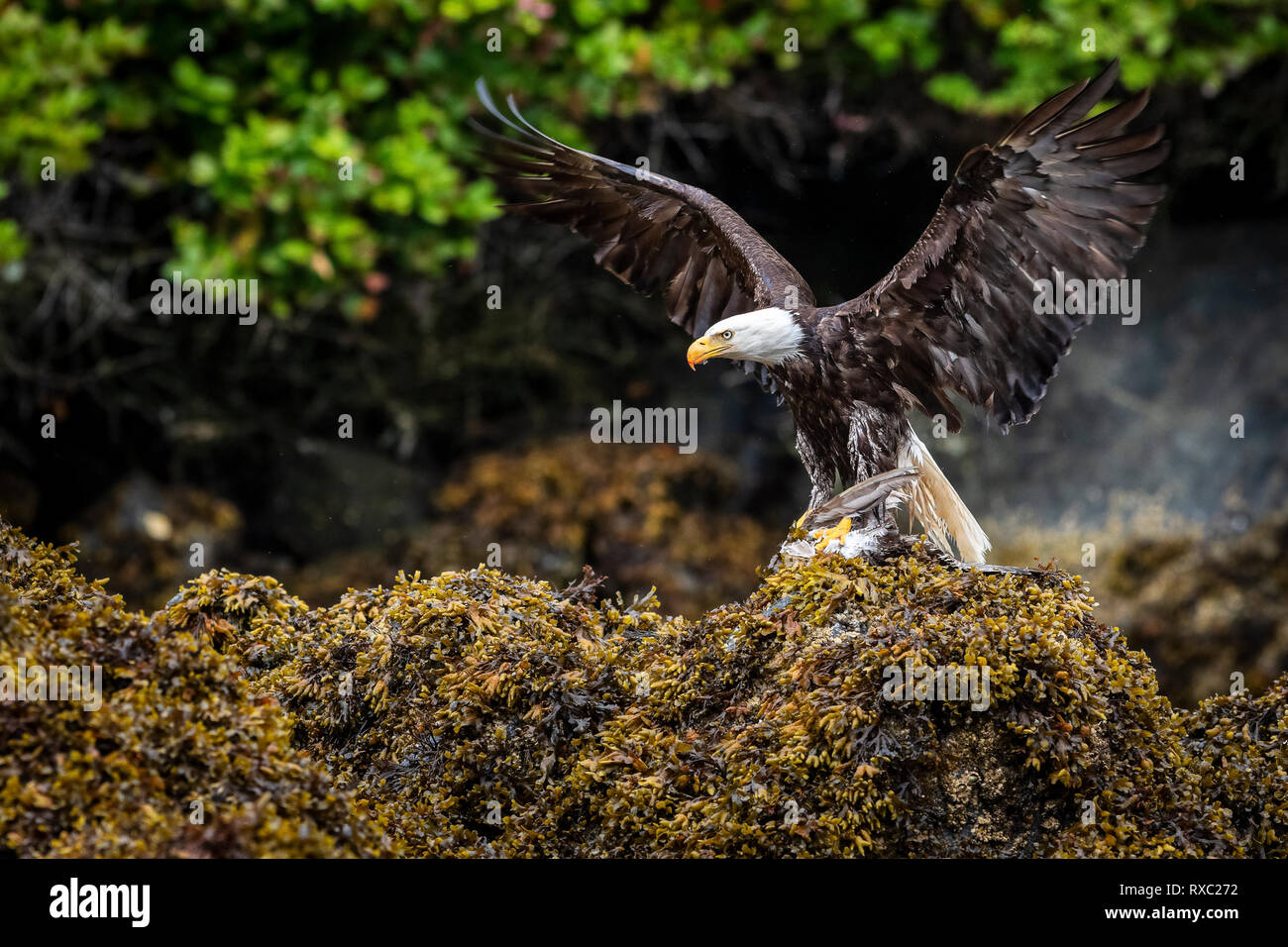 Adult bald eagle (Haliaeetus leucocephalus) with spread wings and a freshly caught seagull in its talons on seaweed during low tide in the Broughton Archipelago, First Nations Territory, British Columbia, Canada. Stock Photo