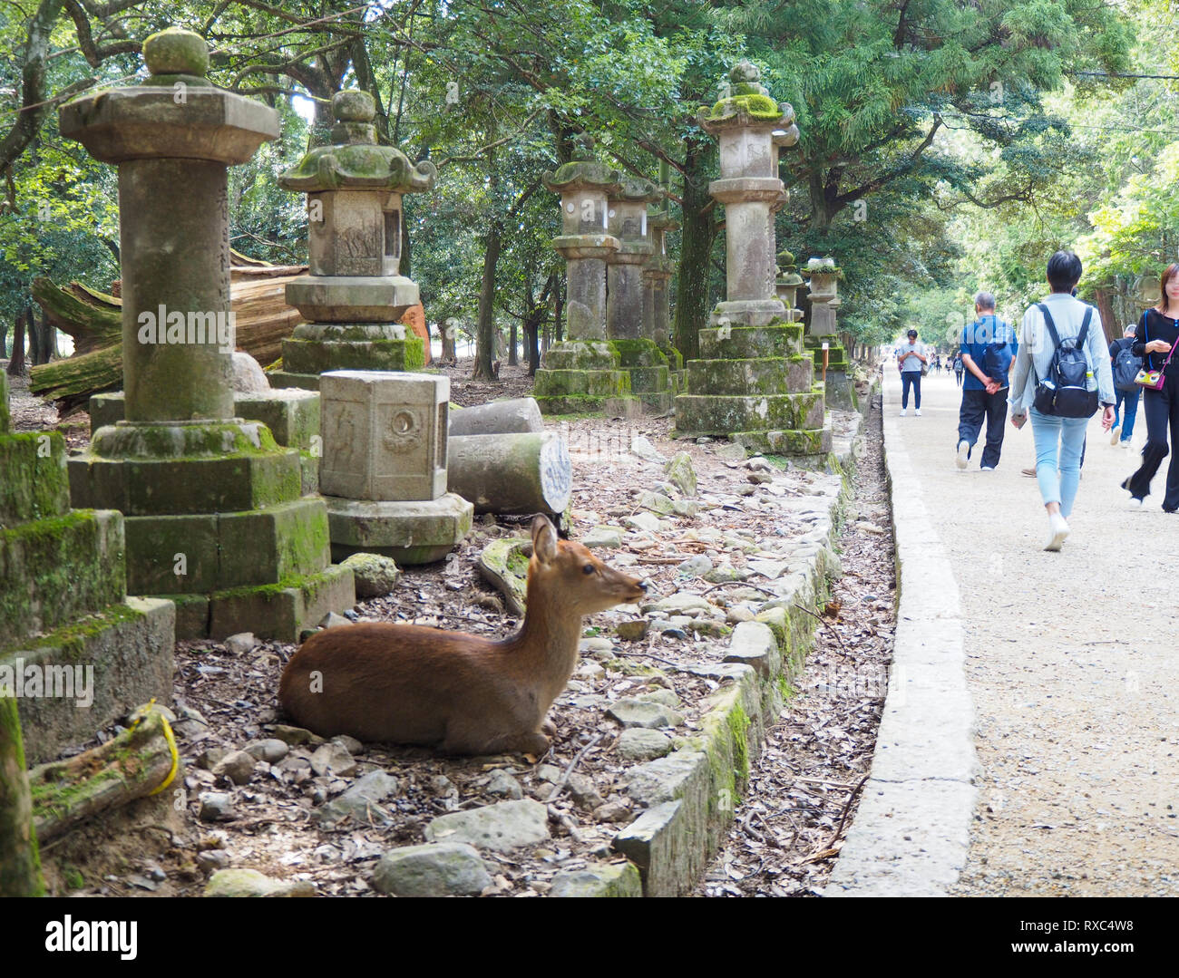 Nara, Japan - 15 Oct 2018: A deer is lying amidst ancient stone structures near the Kasuga Grand Shrine at Nara, Japan, while tourists are passing by. Stock Photo