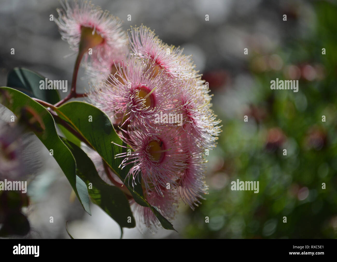 Pale pink blossoms of an Australian native Corymbia flowering gum tree, family Myrtaceae. Endemic to Western Australia - Stock Image