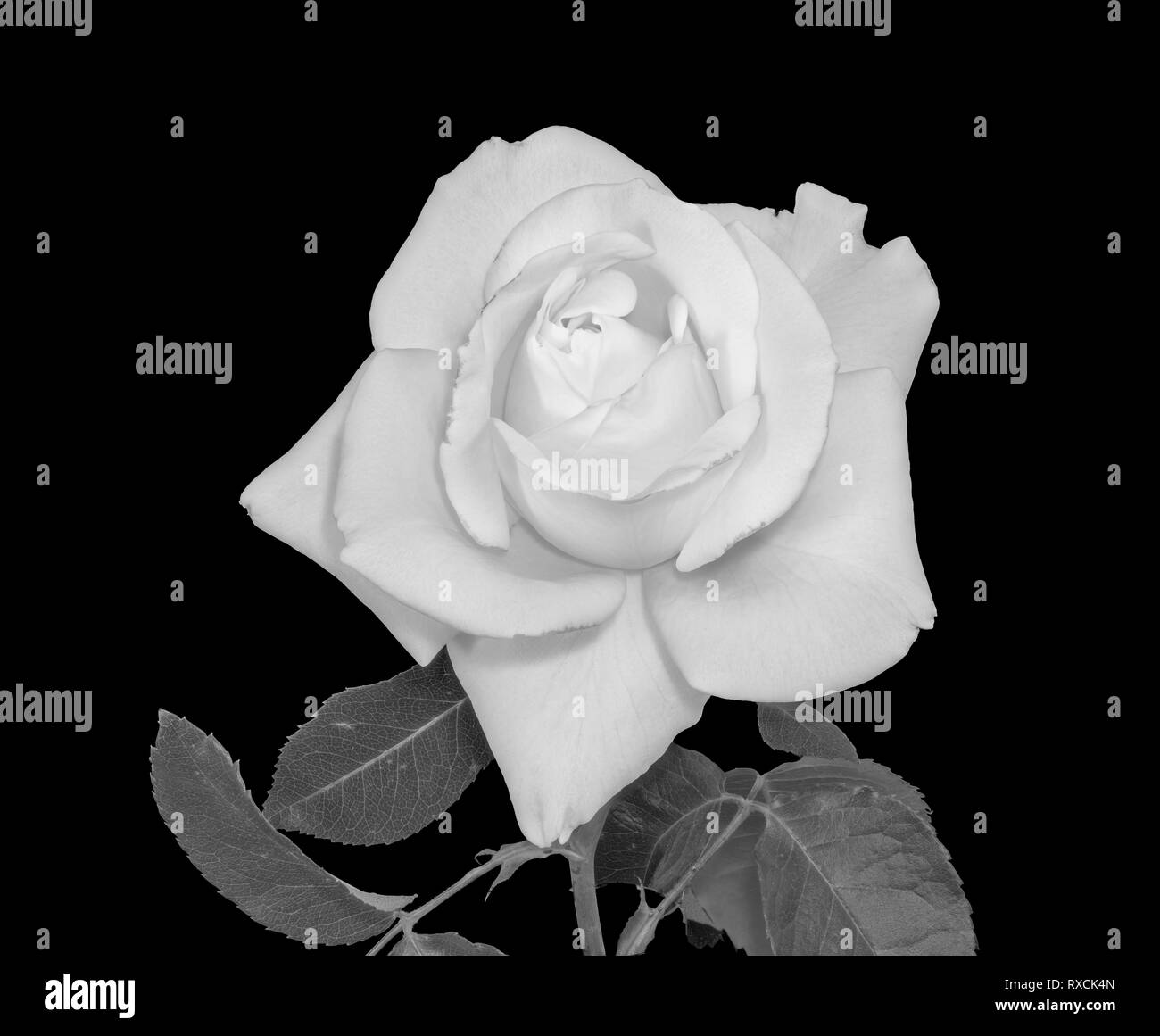 Fine art still life bright monochrome flower macro of a fresh white