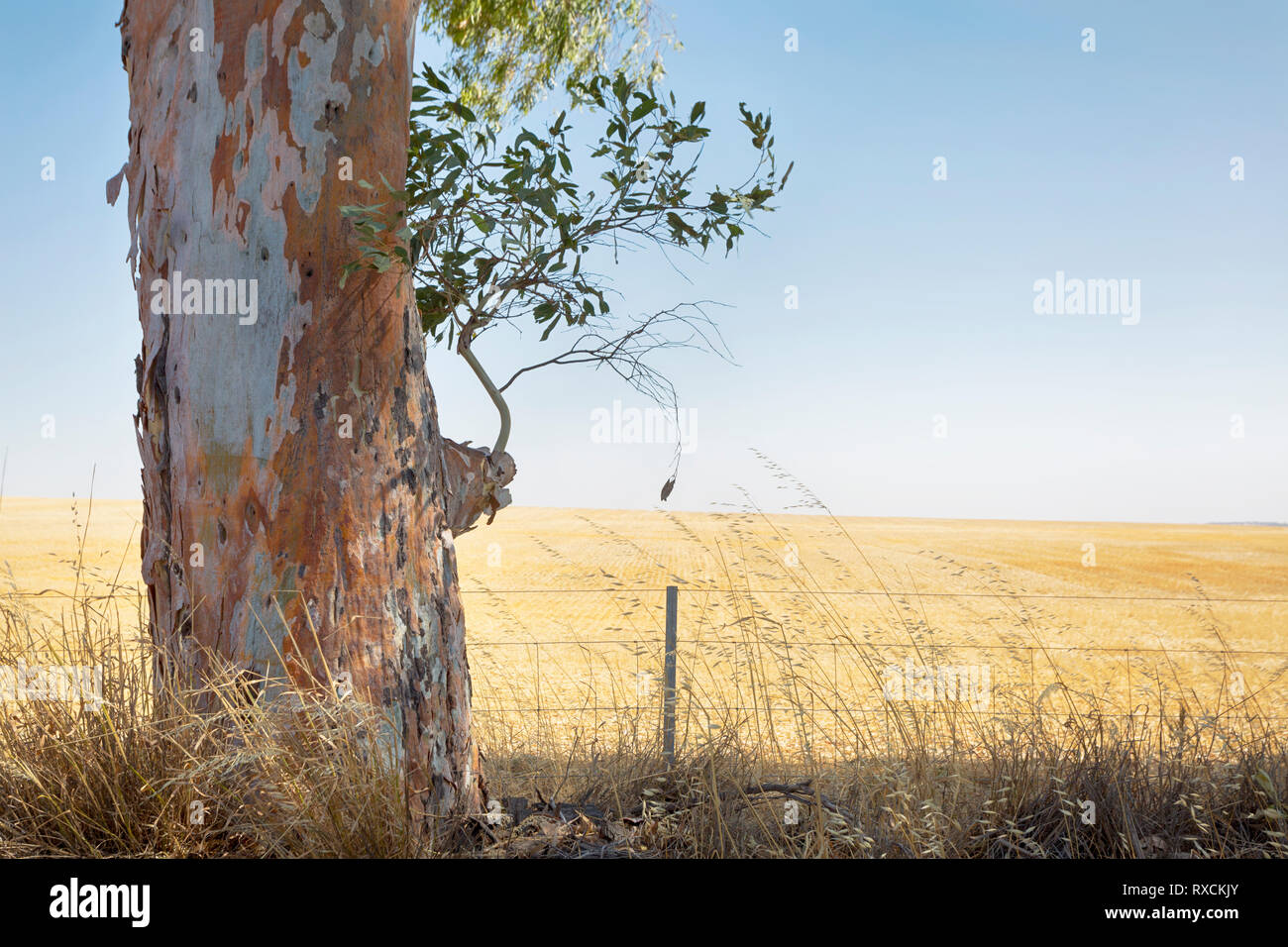 A Gum Tree with a field of Wheat in the background. - Stock Image