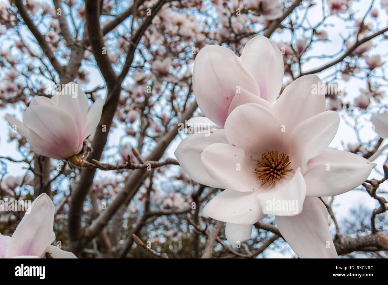 White Magnolia Flower Tree At Dunedin Botanic Garden South Island