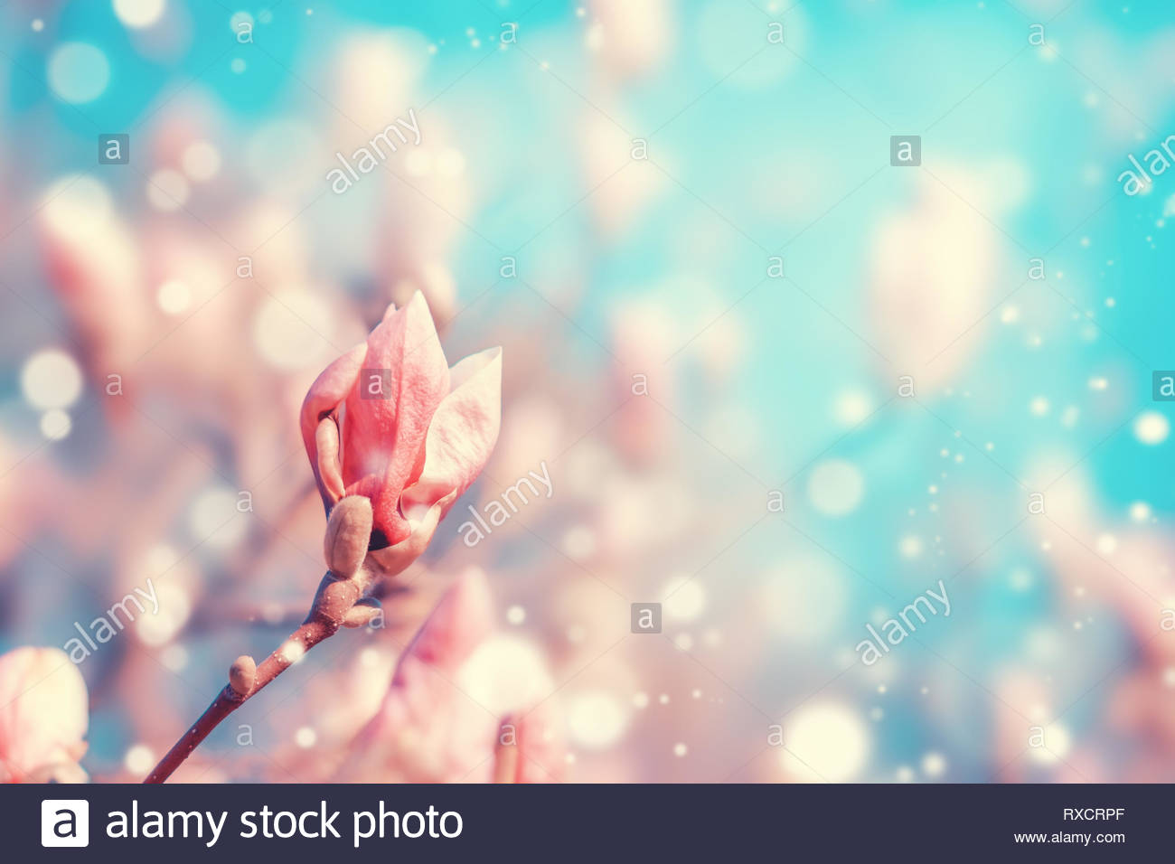 Pink magnolia tree flowers bud in spring. Nature floral blossoming background with glitters and copy space. Pastel pink and blue colors. - Stock Image