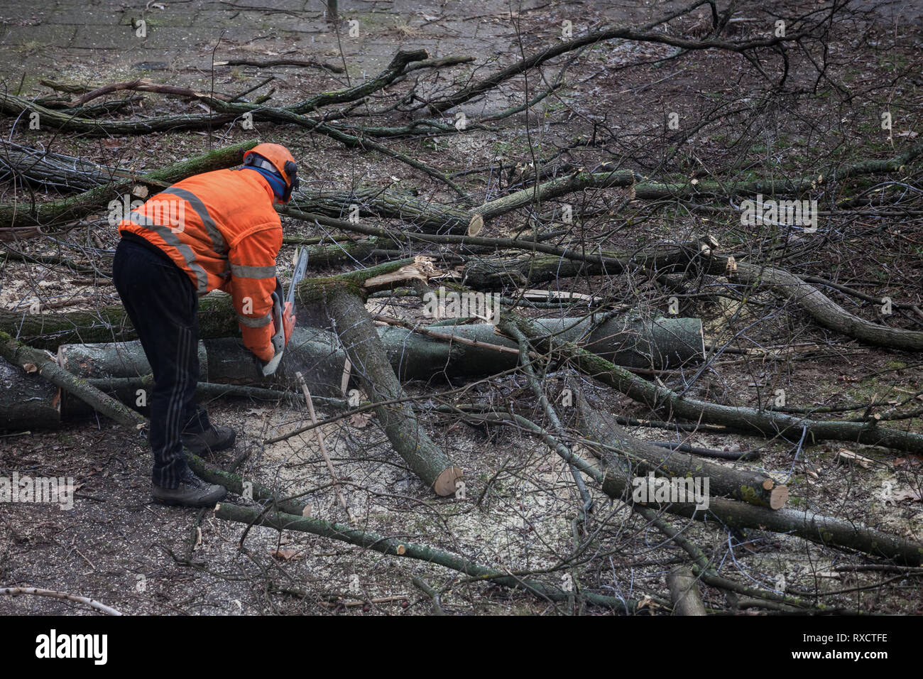 Worker with orange vest, helmet and chainsaw cutting a tree on the yard to small piecies ready for transport - Stock Image