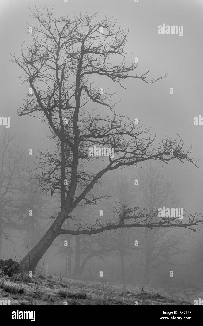 Early morning light breaks through freezing fog show casing the shape of a tree standing apart form the rest of the forest. - Stock Image