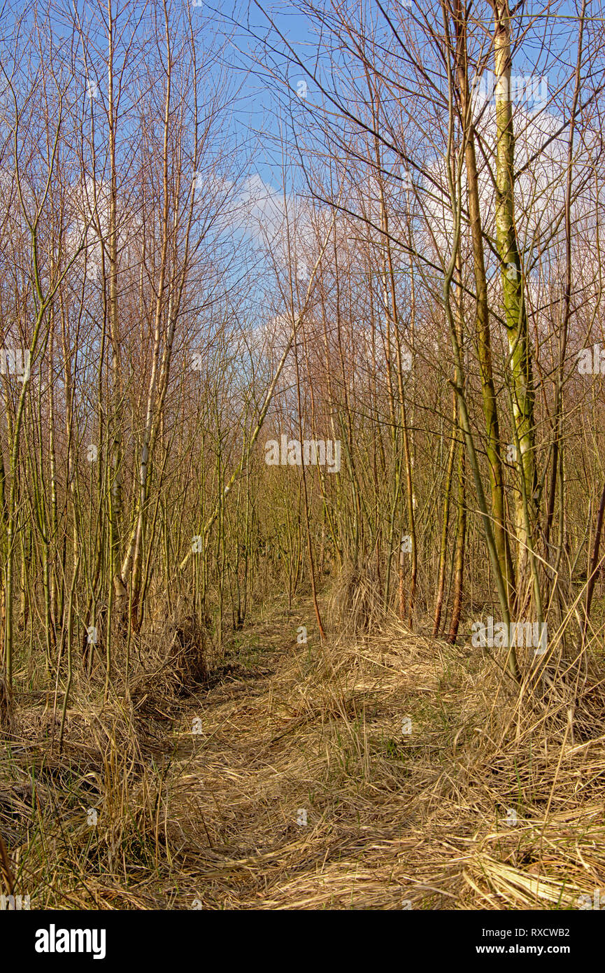 Dense wilderness of bare young birch trees on a sunny winter day in Gentbrugse Meersen nature reserve, Ghent, Belgium Stock Photo