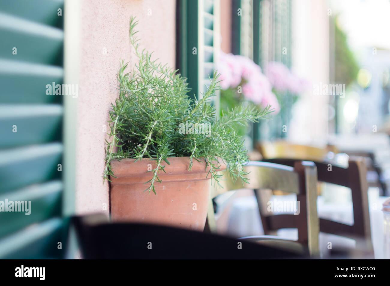 Rosmarin am Fensterbankerl - Stock Image