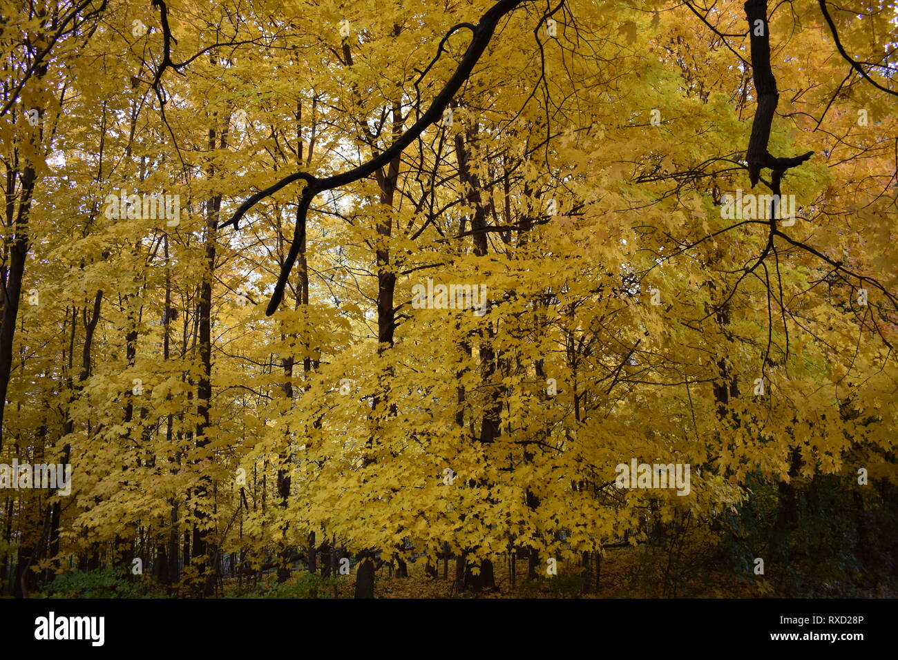 Fall Leaves and Trees in Aurora Illinois - Stock Image