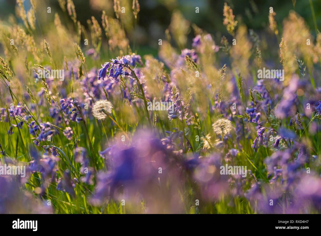 Dandelion Seedhead; Taraxacum officinale; with Bluebells; Cornwall; UK - Stock Image